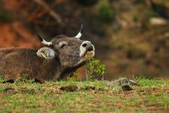 Kuh, die nach neuem Lebensmittel sucht Stockbilder