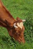 Kuh, die organisches Gras weiden lässt Lizenzfreie Stockfotografie
