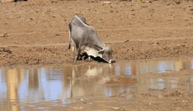 Kuh, die am schlammigen waterhole trinkt stockfotografie