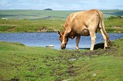 Kuh, die vom Teich trinkt Stockfotos