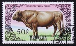 Kuh Dornod Taliin Bukh, Reihe Bilder von ` züchten Kühe `, circa 1985 Lizenzfreies Stockbild