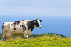 Kuh durch das Meer Stockfotografie