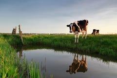 Kuh durch Fluss bei Sonnenuntergang Lizenzfreie Stockfotografie