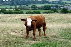 Kuh in einem Ackerland, England Lizenzfreie Stockfotos