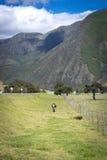 Kuh in einem Hügel mit einem Gebirgshintergrund Lizenzfreies Stockfoto