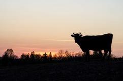 Kuh in einem Sonnenuntergang Lizenzfreie Stockfotos
