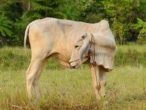 Kuh an einem sonnigen Tag Lizenzfreie Stockfotos
