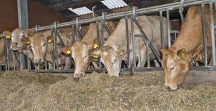 Kuh in einem Stall Stockbild
