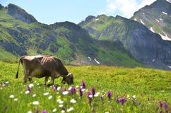 Kuh in einer Alpenwiese stockfotografie