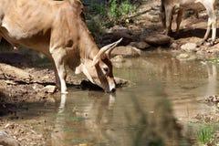 Kuh an einer Wasserstelle in Afrika Lizenzfreies Stockbild