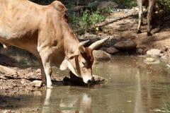 Kuh an einer Wasserstelle in Afrika Stockfoto