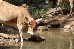 Kuh an einer Wasserstelle in Afrika Stockbild