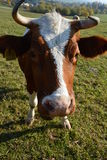 Kuh in einer Weide Lizenzfreies Stockbild