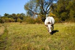 Kuh in einer Weide Stockfotografie