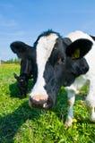 Kuh in einer Weide Stockfotos