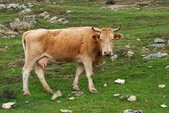 Kuh an einer Wiese lizenzfreies stockfoto