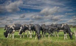 Kuh in einer Wiese Lizenzfreies Stockfoto