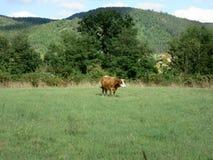 Kuh in einer Wiese Stockfotografie