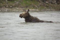Kuh-Elch-Schwimmen Lizenzfreies Stockfoto