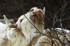 Kuh essen Baumast lizenzfreies stockbild