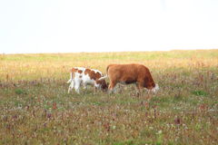 Kuh-Familie Stockfotografie