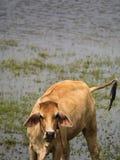Kuh gedreht zum Blick im Teich Stockfoto