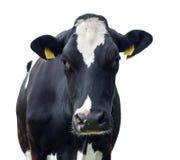 Kuh, getrennt Stockfoto