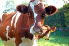 Kuh hinter dem Zaun Stockbild