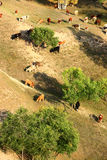 Kuh im Ackerland Stockbild