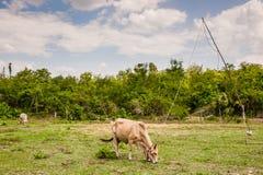 Kuh im Ackerland Stockbilder