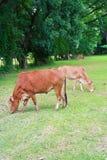 Kuh im Ackerland Lizenzfreie Stockfotografie