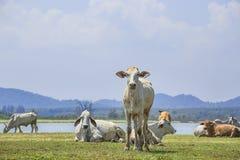 Kuh im Bauernhof mit See- und Gebirgshintergrund Lizenzfreie Stockfotos