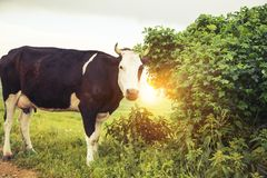 Kuh im Baum Lizenzfreie Stockfotos