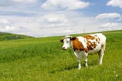 Kuh im Berg Lizenzfreies Stockfoto