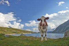 Kuh im Berg Stockbild