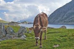 Kuh im Berg Lizenzfreie Stockfotografie