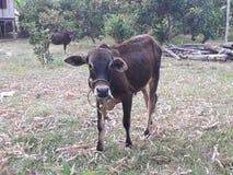 Kuh im Dorf lizenzfreie stockfotos