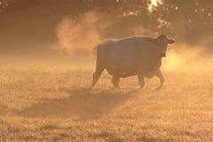 Kuh im eisigen Nebel des Morgens. Stockfotografie