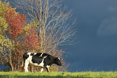 Kuh im Herbst Stockfotografie