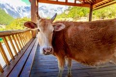 Kuh im kühlen Schatten Stockbilder