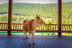 Kuh im kühlen Schatten Lizenzfreie Stockbilder
