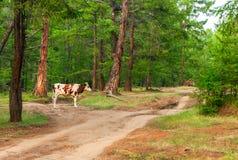 Kuh im Kiefernwald Lizenzfreies Stockfoto