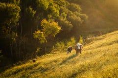 Kuh im schönen Bauernhof Stockfotos