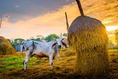 Kuh im Stall Lizenzfreies Stockfoto
