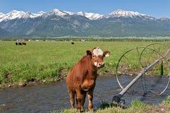 Kuh in Joseph, Oregon Stockfotografie
