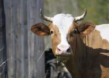 Kuh kaut Gras lizenzfreies stockfoto