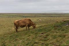 Kuh lässt auf Abhang an den Klippen von Moher in Irland weiden stockbild