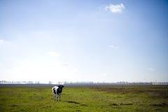 Kuh lässt auf grüner Wiese mit Blumen nahe weiden lizenzfreie stockfotos