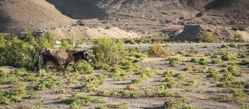 Kuh lässt in der Steppe weiden lizenzfreie stockbilder