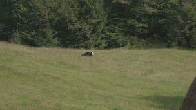 Kuh lässt in der Wiese in den Bergen weiden stock footage